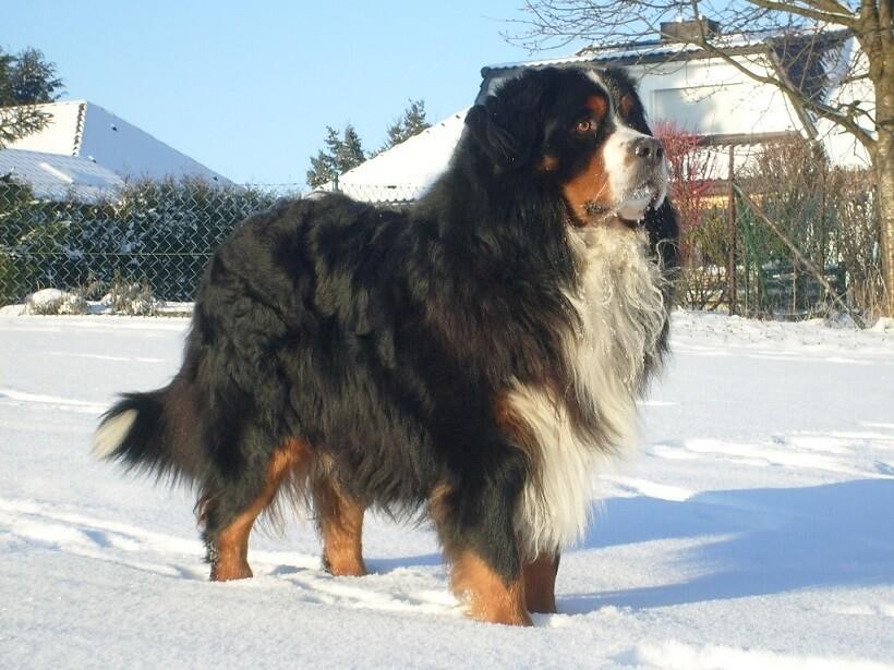 Ciobanesc de Berna - cei mai buni caini de paza