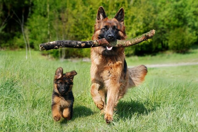 Ciobanesc german - cei mai buni caini de paza
