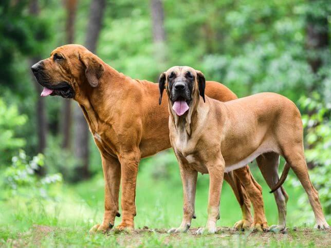 Mastiff Brazilian - caini de paza