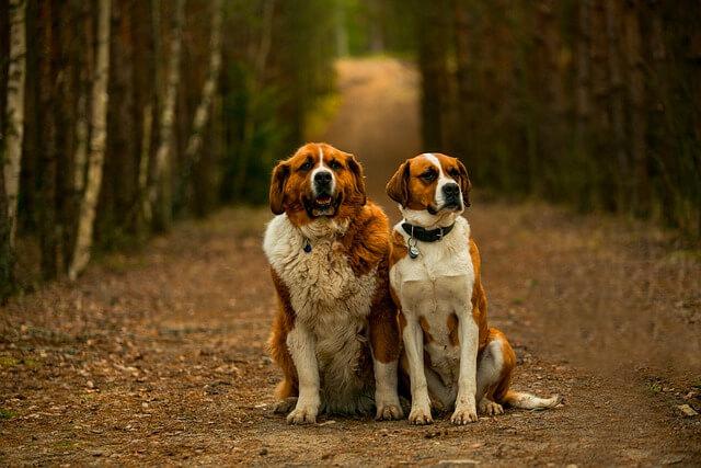 Saint Bernard cei mai buni caini de paza